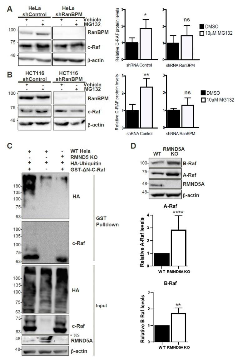 C-Raf is regulated by the proteasome through the CTLH complex. Non-targeting shRNA control and shRNA RanBPM cells were treated with 10 μM MG132 or DMSO, as vehicle, for 24 h. RIPA buffered whole cell extracts of HeLa ( A ), and HCT116 ( B ) were analyzed by Western blot with RanBPM, c-Raf and β-actin antibodies to detect RanBPM, c-Raf and β-actin proteins, respectively. c-Raf protein levels were normalized to β-actin levels. Quantifications of relative c-Raf protein levels are shown with error bars indicating SD ( n = 4). * p