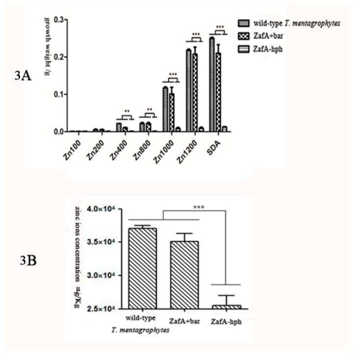 ( A ): The growth weight of wild-type T. mentagrophytes strain, ZafA-hph, and ZafA+bar. In Sabouraud glucose liquid medium, there was no significant growth weight difference in ZafA+bar and the wild-type T. mentagrophytes strain. However, the difference between ZafA-hph and the wild-type T. mentagrophytes strain was significant in growth weight. ** p