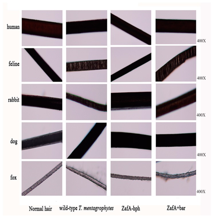 In vitro biodegradation of hair. The hair biodegradation test examined the susceptibility of different animal hair to the test strains of T. mentagrophytes . No obvious traces of pathological changes or decomposition were found in human and dog hair. The fox and feline hair were highly susceptible to T. mentagrophytes , and the rabbit hair was slightly susceptible to T. mentagrophytes . The decomposition significantly reduced on fox and cat's hair in ZafA-hph, the pathological changes or decomposition on fox and cat's hair have no obvious difference in ZafA+bar and the wild-type T. mentagrophytes strain.