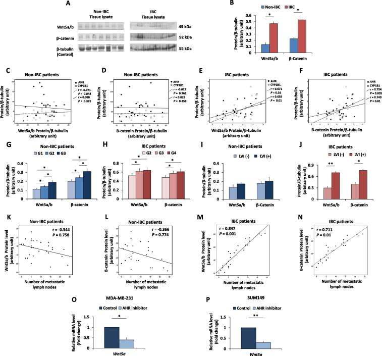 Wnt5a/b and β-catenin expression in carcinoma tissues from non-IBC and IBC patients and their correlations with AHR/CYP1B1 and patents clinical pathological properties. (A) Representatives of protein expression of Wnt5a/b and β-catenin in non-IBC and IBC carcinoma tissue lysates analyzed by SDS-PAGE, transferred into PVDF membranes showing high expression of Wnt5a/b and β-catenin in breast carcinoma tissues of IBC patients. (B) Bars represent the relative density values of protein bands assessed by ImageJ software and normalized against the loading control β-tubulin and showing significant expression of Wnt5a/b and β-catenin in IBC tissues (n = 28) compared to non-IBC tissues (n = 33). Data represent the mean ± SD, * P ≤ 0.05 and ** P ≤ 0.001 as determined by Student's t -test. (C and D) Scatter charts showing no correlation between AHR and CYP1B1 expression and Wnt5a/b and β-catenin expression in non-IBC carcinoma tissues. (E and F) Scatter charts showing a linear positive correlation between AHR/CYP1B1 expression and Wnt5a/b and β-catenin expression in IBC carcinoma tissues. (G and H) Bars represent expression of Wnt5a/b and β-catenin in non-IBC and IBC patients sub-grouped according to the tumour grade, both correlates with tumour grade in the non-IBC (G) and IBC (H) patient groups. (I and J) Bars represent the relative density values of Wnt5a/b and β-catenin proteins sub-grouped into negative and positive LVI, results showed no statistical correlation with LVI in non-IBC patients and a significant correlation with lymphovascular invasion in IBC patients. Data represent mean ± SD, * P ≤ 0.05 and ** P ≤ 0.001 as determined by one-way ANOVA followed by Tukey's multiple comparison test. (K – N) Scatter charts showing a weak correlation between the number of metastatic lymph nodes and the relative density values of Wnt5a/b (K) and β-catenin (L) proteins in non-IBC tissues and a linear positive correlation between the number of metastatic lymph nodes and the relative 