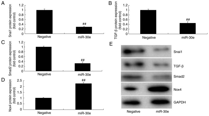 miRNA-30e regulates <t>Snai1/TGF-β/Nox4</t> protein expression. (A) Snai1, (B) TGF-β, (C) Smad2 and (D) Nox4 protein expression by statistical analysis, and (E) western blotting analysis. ## P