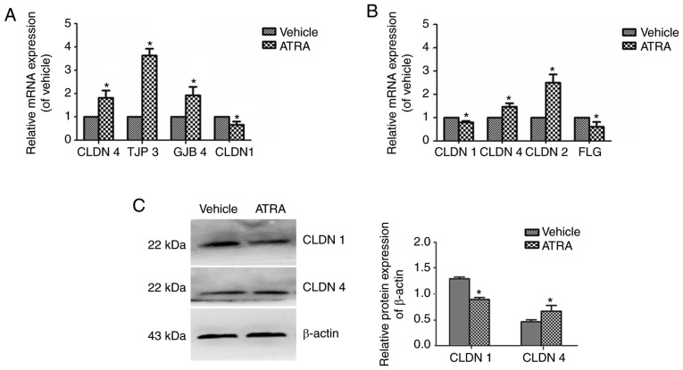 mRNA and protein expression levels of CLDN1 and CLDN4 in immortalized keratinocyte HaCaT cells treated with ATRA. HaCaT cells were incubated with or without 1 µ M ATRA for 36 h. (A) In the cells, CLDN-4, TJP3 and JGB4 were upregulated, while CLDN1 was downregulated. (B) In mice, CLDN1 and FLG were downregulated, while CLDN4 and CLDN2 were upregulated. (C) CLDN1 and CLDN4 protein expression levels were determined by western blotting. <t>β-actin</t> was used as a loading control. Data are presented as the mean ± standard deviation from three independent experiments performed in triplicate (n=3). * P