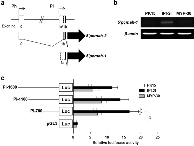 Identification of intestine specific promoter (Pi) of the pcmah gene. ( a ) Genomic structure of pcmah . Ubiquitous housekeeping promoter region of pcmah plays a role in the expression of 5′ pcmah -2. Putative promoter region of the intestine specific splicing variant of pcmah (5′ pcmah -1) is indicated by 'Pi (intestine specific promoter)'. Shaded boxes indicate the coding exons, while open boxes indicate untranslated exons. Two splicing variants of pcmah share a common ORF region (shaded arrow boxes). ( b ) The relative levels of 5′ pcmah -1 expression were measured and analyzed by RT-PCR in three different cells of PK15, IPI-2I, and MYP30. β -Actin was used as a positive control. ( c ) The relative reporter activities of the luciferase reporter plasmids with the proximal region of exon 1a in PK15, IPI-2I, and MYP30 cells. DNA fragments containing various lengths of the Pi promoter region, which is the proximal region of exon 1a, were subcloned into a PGL3-basic vector (pGL3), and each generated plasmid was transiently transfected into the three different pig cells of PK15, IPI-2I, and MYP30. Two enzyme activities of luciferase and β -Gal in each of the transfected cells were assayed as described in the 'Materials and Methods' section. In each transfected cell, the luciferase enzyme activity was normalized with the measured β-Gal activity. The relative fold value was then calculated from the ratio of the normalized activity and the activity in the empty pGL3-basic vector-transfected cells. Statistic bars represent the mean ± SE of three independent determinations. Differences in the fold value of luciferase enzyme activities were statistically analyzed using the Student t -test: * p