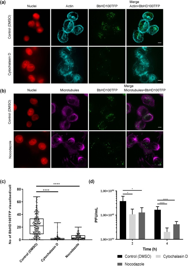 Role of cytoskeleton in the uptake of B. bacteriovorus by U937 cells. ( a ) U937 cells pretreated with actin depolymerising agent, cytochalasin D (10 µM) for 1 h were exposed to BbHD100TFP (green) for 2 h at an MOE of 50 bacteria per cell in the presence of inhibitors or carrier (DMSO) and fixed. The actin filaments of fixed cells were stained with Rhodamine-phalloidin (false coloured in cyan), the nuclei were stained with SiR-DNA (red) and imaged. Shown are the maximum intensity 2D-projections (Stacks 1–20 used for both control and cytochalasin D treated cells) of the restored z-stack images. Scale bar −5 µm. Images are representative of two independent experiments. ( b ) U937 cells pretreated with microtubule inhibitor, Nocodazole (2.5 µM) for 1 h were exposed to BbHD100TFP (green) for 2 h at a MOE of 50 bacteria per cell in the presence of inhibitor or carrier (DMSO) and fixed. The microtubules of the fixed cells were stained with anti-tubulin primary antibody and Alexa 555 secondary antibody (false coloured in magenta), nuclei were stained with SiR-DNA (red) and imaged. Shown are the maximum intensity 2D-projections (Stacks 5–25 for both control and Nocodazole treated cells) of the restored images. Scale bar −5 µm. Images are representative of two independent experiments. ( c ) B. bacteriovorus detected inside U937 cells that were exposed to BbHD100TFP for 2 hours at a MOE of 50 bacteria per cell in the presence of cytoskeletal inhibitors or carrier, DMSO were counted from the restored z-stack images of fixed and immunostained cells. Data shown, as number of BbHD100TFP visualised per cell, are representative of one of the two independent experiments, each set up in duplicate and a minimum of 125 cells were analysed from each experiment. ****corresponds to P