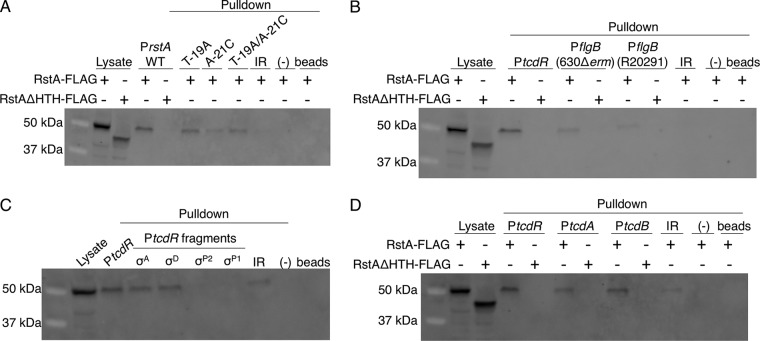RstA binds to the rstA , tcdR , flgB , tcdA , and tcdB promoters. Western blot analysis using FLAG M2 antibody to detect recombinant RstA-3XFLAG or RstAΔHTH-3XFLAG in cell lysates or following biotin-labeled DNA pulldown assays. As a control, cell lysate expressing the RstA-3XFLAG construct (MC1004) or the RstAΔHTH-3XFLAG construct (MC1028) is included in the first lane or two of each Western blot shown. Additional negative controls in each panel include unbiotinylated full-length rstA promoter (−) and beads-only controls to ensure that RstA does not interact with the beads nonspecifically. The biotin-labeled fragments used as bait are of the 115-bp wild-type, T-19A, A-21C, or T-19A/A-21C rstA promoters or of the 380-bp intergenic region upstream of the rstA promoter (IR; see Fig. 2 ; present in all panels) (A), the full-length tcdR (446-bp) or the 630Δ erm or R20291 flgB (229-bp) promoters (B), the full-length tcdR (446-bp), σ A -dependent (92-bp), σ D -dependent (116-bp), σ TcdRP2 -dependent (188-bp), or σ TcdRP1 -dependent (112-bp) promoters (C), or the full-length tcdR (446-bp), tcdA (511-bp), or tcdB (501-bp) promoters (D). All promoter fragments were bound to streptavidin-coated magnetic beads and incubated with C. difficile cell lysates grown in TY medium (pH 7.4) supplemented with 2 µg/ml thiamphenicol and 1 µg/ml nisin to mid-log phase (OD 600 of 0.5 to 0.7), expressing either the RstA-3XFLAG construct (MC1004) or the RstAΔHTH-3XFLAG construct (MC1028).