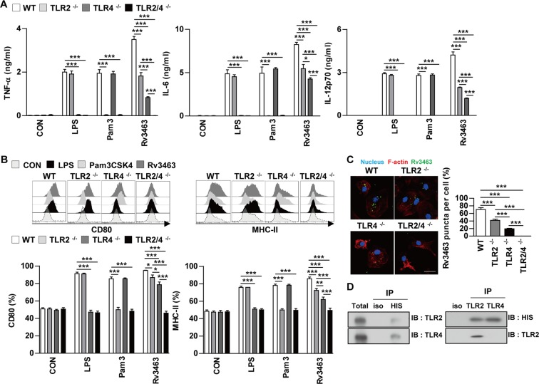 Rv3463 induces macrophage activation via TLR2 and TLR4. Bone marrow-derived macrophages (BMDMs) derived from wild-type (WT), TLR2 −/− , TLR4 −/− , and TLR2/4 −/− mice were treated with Rv3463 (5 μg/ml), lipopolysaccharide (LPS, 100 ng/ml), or Pam3CSK4 (100 ng/ml) for 24 h. ( A ) The production of TNF-α, IL-6, and IL-12p70 in the culture supernatants was determined by ELISA. All data are expressed as mean ± SD ( n = 3). ( B ) Expression of CD80 and MHC class II molecules on BMDMs stimulated with each antigen was determined by staining and flow cytometry. The bar graphs show the mean percentage ± SEM of each surface molecule on F4/80 + cells across three independent experiments. * p