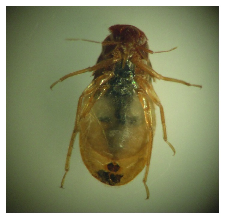 Nymph showing incomplete molt after taking an ivermectin blood meal.