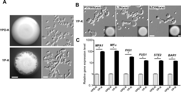 Glucose starvation promotes efficient polarized cell growth and induces the expression of mating-related genes in MTL a/a cells of C . albicans . (A) Morphologies of the laboratory strain GH1013 ( MTL a / a ) grown on <t>YPD-K</t> and YP-K media. 1 × 10 5 cells were spotted on YPD-K and YP-K media and cultured at 25°C for five days. Scale bar for colonies (left panels), 2 mm; scale bar for cells (right panels), 10 μm. (B) Morphologies of three clinical C . albicans strains ( MTL a / a ) grown on YP-K medium at 30°C for four days. Scale bar for colonies (inset), 2 mm; scale bar for cells, 10 μm. (C) Relative expression levels of mating-related genes normalized to ACT1 . Cells of GH1013 were used, and culture conditions were same as described in panel (A). Error bars represent standard errors of technical duplicates. * p