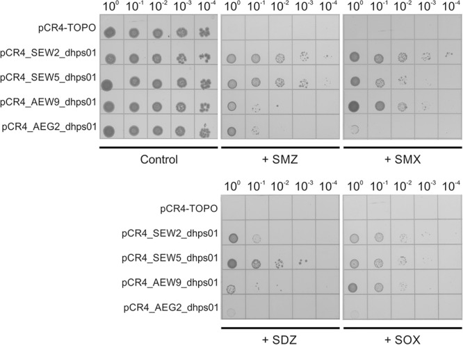 Resistance against sulfonamide antibiotics mediated by SEW2_dhps01, SEW5_dhps01, AEW9_dhps01 , and AEG2_dhps01 . Five microliters of serially diluted E. coli <t>TOP10</t> cultures with starting OD 600 of 0.5 were spotted onto Iso-Sensitest agar plates supplemented with 1000 mg/L sulfamethazine (+ SMZ), 250 mg/L sulfamethoxazole (+ SMX), 250 mg/L sulfadiazine (+ SDZ) or 500 mg/L sulfisoxazole (+ SOX). Iso-Sensitest agar plates with no sulfonamide added (control) were also included. E. coli TOP10 cultures carrying the cloning vector <t>pCR4-TOPO,</t> pCR4_SEW2_dhps01, pCR4_SEW5_dhps01, pCR4_AEW9_dhps01 or pCR4_AEG2_dhps01 were considered.