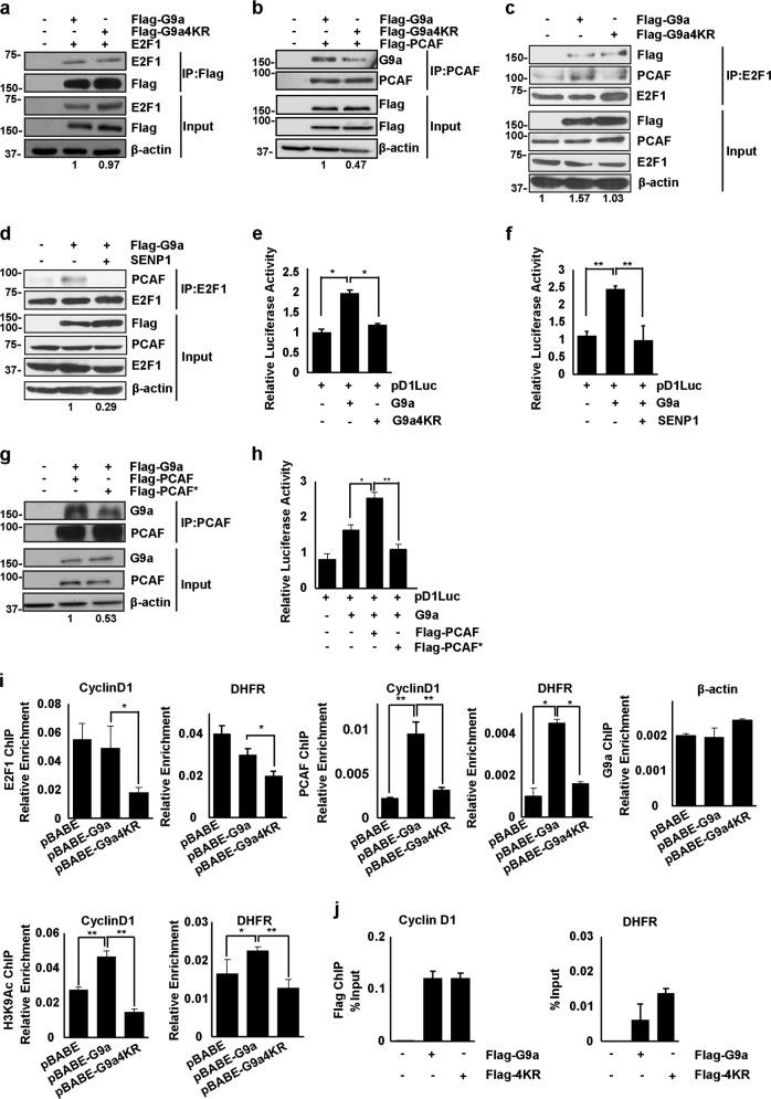 G9a SUMOylation regulates E2F1/PCAF (P300/CBP-associated factor) association. a HEK293T cells were co-transfected with E2F1 and Flag-G9a or Flag-G9a4KR. Lysates were immunoprecipitated with Flag-agarose beads and immunoblotted with anti-E2F1, anti-G9a, and anti-β-actin antibodies. Numbers at the bottom of the panel indicate the relative interaction of E2F1 with G9a and G9a4KR, which was quantified by calculating the ratio of E2F1 to Flag band intensities in the immunoprecipitated material. The interaction with G9a was given a value of 1. b HEK293T cells were co-transfected with PCAF and Flag-G9a or Flag-G9a4KR. Lysates were immunoprecipitated with anti-PCAF antibody and immunoblotted with anti-PCAF, anti-G9a, and anti-β-actin antibodies. The relative interaction of PCAF with G9a and G9a4KR was quantified by calculating the ratio of G9a to PCAF band intensities in the immunoprecipitated material. The interaction with G9a was given a value of 1. c C2C12 cells were transfected with Flag-G9a or Flag-G9a4KR. Lysates were immunoprecipitated with anti-E2F1 antibody and immunoblotted with anti-PCAF and anti-FLAG antibodies. The ratio of PCAF to E2F1 band intensities was quantified in the immunoprecipitated material. Numbers at the bottom of the panel show interaction relative to control cells which was given a value of 1. d Flag-G9a was transfected with or without SENP1 as indicated. Lysates were immunoprecipitated with anti-E2F1 antibody and immunoblotted with anti-PCAF, anti-E2F1, and anti-β-actin antibodies. The band intensities of PCAF with E2F1 were quantified in the immunoprecipitated material. The interaction in the presence of G9a was given a value of 1. e Cells stably expressing pBABE-G9a or pBABE-G9a4KR were transfected with 200 ng of Cyclin D1 promoter (pD1luc) reporter. After 48 h, the luciferase activity was measured using dual luciferase reporter assays. f pBABE and pBABE-G9a cells were transfected with 200 ng of Cyclin D1 promoter (pD1luc) with or without SEN