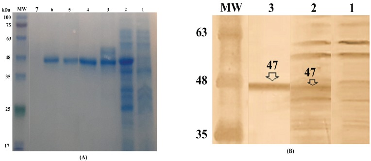 Expression and purification of Hsp20-Nef protein in E. coli expression system as shown in SDS-PAGE ( A ) and western blotting ( B ); A ) Lane 1: Before induction, Lane 2: After induction, Lane 3: Purified protein using affinity chromatography, Lane 4-6: Further purification using reverse staining; B ) Lane 1: Before induction, Lane 2: After induction, Lane 3: Purified protein; MW is the molecular weight marker (10-180 kDa, Fermentas).