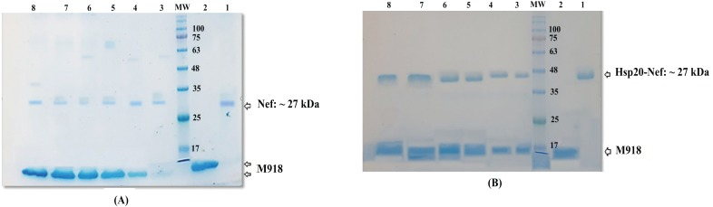 A ) Analysis of M918/Nef ( A ) and M918/Hsp20-Nef ( B ) complexes at different molar ratios in SDS-PAGE: Lane 1) purified Nef or Hsp20-Nef protein as a control, Lane 2) M918 peptide, Lane 3) M918/ Nef or M918/Hsp20-Nef complexes at ratio of 2:1, Lane 4) M918/ Nef or M918/Hsp20-Nef complexes at ratio of 5:1, Lane 5) M918/ Nef or M918/Hsp20-Nef complexes at ratio of 10:1, Lane 6) M918/ Nef or M918/Hsp20-Nef complexes at ratio of 15:1, Lane 7) M918/ Nef or M918/Hsp20-Nef complexes at ratio of 20:1, Lane 8) M918/ Nef or M918/Hsp20-Nef complexes at ratio of 30:1; MW is the molecular weight marker (10-180 kDa, Fermentas). The lanes 2-8 describe a chemical dissociation detected as a dominant band of ~ 27 kDa and ~ 47 kDa related to Nef and Hsp20-Nef proteins along with M918 peptide band in SDS-PAGE indicating the formation of protein/ peptide complexes.