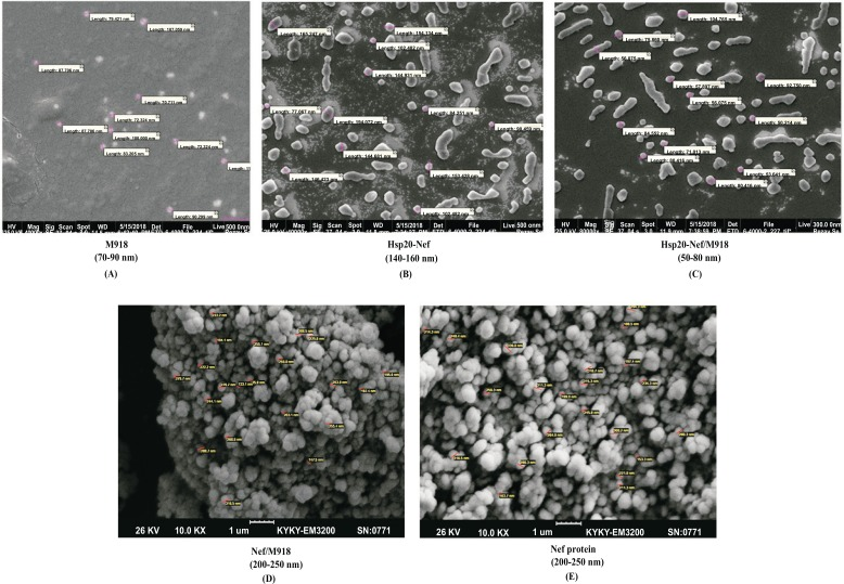 The SEM micrograph of the spherical nanoparticles: A ) M918 peptide, B ) Hsp20-Nef, C ) Hsp20-Nef/M918, D ) Nef/M918, E ) Nef; A size of ~ 200-250 nm was observed for M918/Nef nanoparticles and ~ 50-80 nm for M918/Hsp20-Nef nanoparticles at 25˚C.