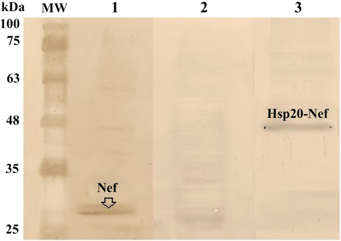 Delivery efficiency of Nef and Hsp20-Nef proteins using M918 at a molar ratio of 1:20 (Nef/M918 and Hsp20-Nef/M918) in HEK-293 T cells for 3 h post-transfection: Western blot analysis showed delivery of the full-length Nef protein (~27 kDa, Lane 1) and Hsp20-Nef protein (~ 47 kDa, Lane 3) in transfected cells by M918 peptide at 3 h after transfection as compared to the un-transfected cells (Lane 2). The corresponding bands were not also detected in the transfected cells with Nef or Hsp20-Nef proteins alone similar to the un-transfected cells (data not shown). MW is the molecular weight marker (10-180 kDa, Fermentas).