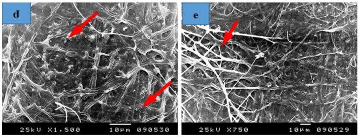 SEM images of Papyrus sheets manufactured with some treatments and inoculated with Colletotrichum gloeosporioides . ( a ) Papyrus sheets manufactured with strips treated with 10% DMSO; ( b1 , b2 ) Papyrus sheets manufactured with strips soaked in tap water; ( c1 , c2 ) Papyrus sheets manufactured with strips soaked in tap water and un-hammered; ( d ) Papyrus sheets manufactured with strips treated with KOH (2%), then 100 mL NaClO; ( e ) Papyrus sheets manufactured with strips treated with NaOH (2%), then 100 mL NaClO. Arrows refer to dense growth of the fungus.