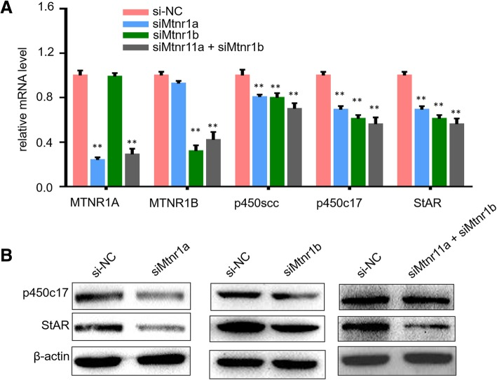 MTNR1A and MTNR1B regulated steroidogenic gene expression in mLTC-1 cells. a . mLTC-1 cells after transfection of si-Mtnr1a and si-Mtnr1b were treated with 1 IU/ml hCG for 6 h before monitoring of mRNA expression levels of p450scc, P450c17 and StAR using qPCR assay. b . Western blotting results of p450c17 and StAR protein expression in mLTC-1 after knockdown of MTNR1A and MTNR1B using specific siRNA