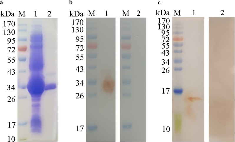 Expression, purification and Western blot analysis of rHCA59 protein. Lane M: standard protein molecular weight marker. a rHCA59 protein was induced with 1 mM IPTG. Lane 1: expression of recombinant protein rHCA59 vector before purification; Lane 2: purified rHCA59 protein. b Western blot of rHCA59 protein. Lane 1: recombinant protein <t>HCA59</t> was recognized by goat anti- H. contortus sera; Lane 2: membrane incubated with normal goat sera (as control). c Western blot of total HcESPs. Lane 1: HcESPs were detected by rat anti-rHCA59 protein antibodies; Lane 2: membrane incubated with normal rat sera (as control)