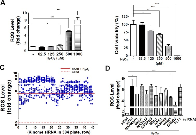 Kinome siRNA screening for cytotoxic effects of ARPE-19 cells during oxidative stress. (A) Human RPE ARPE-19 cells were treated with non-targeting siRNA for 48 h, followed by treatment with hydrogen peroxide at 62.5, 125, 250, 500, and 1000 μM for 24 h in order to determine cell viability. Cellular ROS production and (B) cell viability were measured with ROS-Glo and Cell-titer Glo, respectively. (C) Cells were treated with kinome siRNA (710 gene) for 48 h followed by treatment with hydrogen peroxide (500 μM) for 24 h in order to measure ROS production in cells. (D) The top 10-ranked hits from kinome siRNA screening were further validated for cellular ROS production in three independent experiments (Three parallel samples were included in each experiment), and the results are shown as mean ± SEM.
