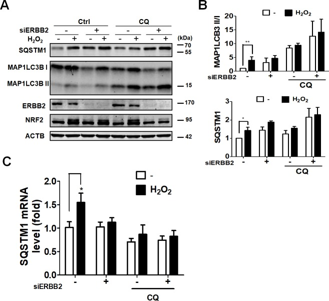 Effects of ERBB2 on autophagy in ARPE-19 cells during oxidative stress. (A) Human RPE ARPE-19 cells were transfected with 5 nM scramble siRNA or siRNA against ERBB2 for 64 h and then treated with hydrogen peroxide (500 μM) for 8 hr. The cells were lysed for western blotting using antibodies against NRF2, SQSTM1, MAP1LC3B, ATG4B, and ACTB. (B) The quantitative results for ratio of MAP1LC3B-II/I and SQSTM1 protein level are shown. (C) The mRNA levels of SQSTM1 in cells as mentioned above were determined by real-time polymerase chain reaction (PCR). The results were analyzed using Prism 5.0 and expressed as mean ± SEM from three independent experiments (Three parallel samples were included in each experiment).