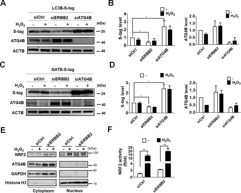 Effects of ERBB2 on ATG4B in ARPE-19 cell during oxidative stress. Cells were transfected with 5 nM scramble siRNA or siRNA against ERBB2 or ATG4B for 48 h, followed by treatment with hydrogen peroxide (500 μM) for 24 h. The cells were then lysed, and equal amount of proteins were incubated with S-tagged (A) MAP1LC3B and (C) GATE-16 for 2 h. S-tag removal and ATG4B expression were examined by immunoblotting (B and D). The S-tag and ATG4B protein levels were quantitated with image J and expressed as mean ± SEM. (E) The knock-downed cells in the absence or presence of hydrogen peroxide were harvested, and nuclear and cytoplasmic fractions were split. The fractionated proteins were determined by immunoblotting using antibodies against NRF2 and ATG4B. (F) NRF2 transcriptional activity was monitored in cells harboring vector containing NRF2 promoter and luciferase.
