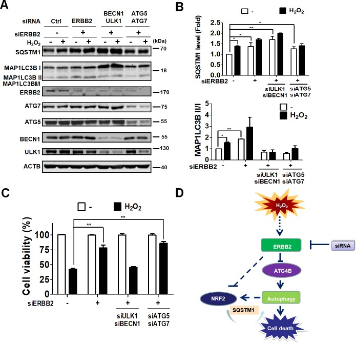 Effects of ERBB2 in autophagy deficient ARPE-19 cells during oxidative stress. (A) Human RPE ARPE-19 cells were transfected with 5 nM scramble siRNA or siRNA against ERBB2 without or with ULK1, BECN1, ATG5, and ATG7 for 48 h and treated with hydrogen peroxide (500 μM) for 24 h. The cells were lysed for immunoblotting to determine protein level of ERBB2, ATG5, ATG7, BECN1, ULK1, SQSTM1, and MAP1LC3B using ACTB as the internal control. (B) SQSTM1 protein levels and ratio of MAP1LC3B-II/I were quantitated with image J and expressed as mean ± SEM. (C) The knock-downed cells were treated with hydrogen peroxide (500 μM) for 8 h, and cell viability was quantified with Celltiter-Glo assay system. (D) Schematic diagram for the potential role of ERBB2 in autophagic cell death in ARPE-19 cells during oxidative stress.