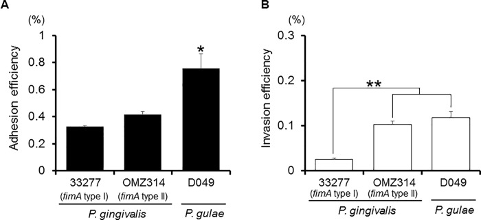 Adhesion/invasion of Ca9-22 cells by P . gulae D049 as compared with P . <t>gingivalis</t> strains. Antibiotic protection invasion assay of P . gulae D049, and P . gingivalis 33277 and <t>OMZ314.</t> Ca9-22 cells were infected with bacteria at an MOI of 100 for 90 min. The numbers of adherent and/or intracellular bacteria were determined by counting viable cell lysates and are expressed as percentage of input bacterial cell number. Values are shown as the mean ± SD of three independent experiments and were analyzed with a t test. * P