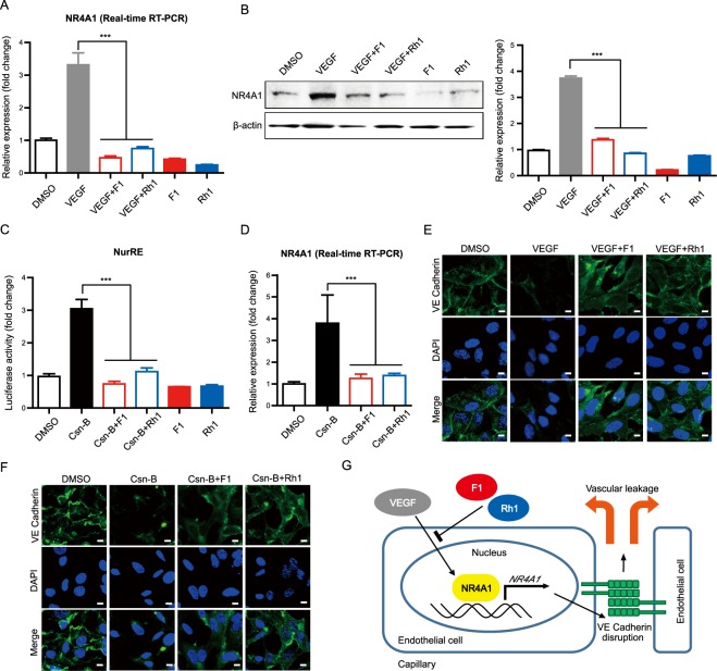 F1 and Rh1 regulate NR4A1 expression and transcriptional activity. ( A ) Effect of F1 and Rh1 on VEGF-induced NR4A1 mRNA expression in HUVECs. The mRNA expression of NR4A1 after treatment with F1 or Rh1 in VEGF-stimulated cells was analyzed by Real-time RT PCR. β-actin was used as a reference gene in the analysis. Data are presented as mean ± SD (n = 3). ( B ) Effect of F1 and Rh1 on VEGF-induced NR4A1 protein expression in HUVECs. The protein expressions of NR4A1 after treatment with F1 or Rh1 in VEGF-stimulated cells were assessed with by Western blot analysis. Data are presented as mean ± SD (n = 3). Full-length blots are presented in Supplementary Fig. 9 ( C ) Effect of F1 and Rh1 on NR4A1 transcriptional activity. NurRE-Luc reporter plasmid-transfected HEK293T cells were treated with the indicated condition for 1 hr (0.1 μM of Csn-B and 10 μM of F1 or Rh1). NR4A1 transcriptional activities were analyzed using the dual luciferase reporter gene assay. Data are presented as mean ± SD (n = 3). ( D ) Effect of F1 and Rh1 on Csn-B-induced NR4A1 mRNA expression in HUVECs. NR4A1 mRNA expressions after co-treatment of F1 or Rh1 with Csn-B were analyzed by Real-time RT PCR. β-actin was used as a reference gene in the analysis. Data are presented as mean ± SD (n = 3). ( E ) Effect of F1 and Rh1 on the VEGF-induced junctional disruption in HUVECs. The cells were treated with F1 or Rh1 (10 μM, 1 hr) after VEGF stimulation (2.5 nM, 1 hr). VE-cadherin (green) was stained with immunofluorescence and the nucleus (blue) was stained by DAPI. Scale bars, 10 μm. ( F ) Effect of F1 and Rh1 on the Csn-B-induced junctional disruption in HUVECs. The cells were co-treated with 1 μM of Csn-B and 10 μM of F1 or Rh1 for an hour. VE cadherin (green) was stained by immunofluorescence and the nucleus (blue) was stained by DAPI. Scale bars, 10 μm. ( G ) Schematic representation of the inhibitory effect of F1 and Rh1 on VEGF-induced vascular leakage in ECs. Statistical significance was calculat