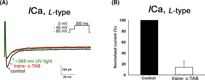 Effect of c-TAB on voltage-gated Ca 2+ currents in neonatal rat ventricular cardiomyocytes ( A ) L-type Ca 2+ currents obtained in the absence (control) and presence of 60 μM trans - с-TAB and after UV irradiation. Inset: original current trace in response to a voltage step from −40 mV to 0 mV for 300 ms. Inactivation of INav was achieved by a pre-step from a holding potential HP of −80 mV to −40 mV for 100 ms. Similar results were obtained in more than three additional cells. ( B ) Calcium current ICa, L-type recorded before and after treatment with 60 μM с-TAB and expressed as a percentage of the control ICa, L-type . Each cardiomyocyte was incubated in the presence of с-TAB at room temperature for ∼3 min in a measuring chamber. The data are the means ± SEM, n =5, statistical significance was P
