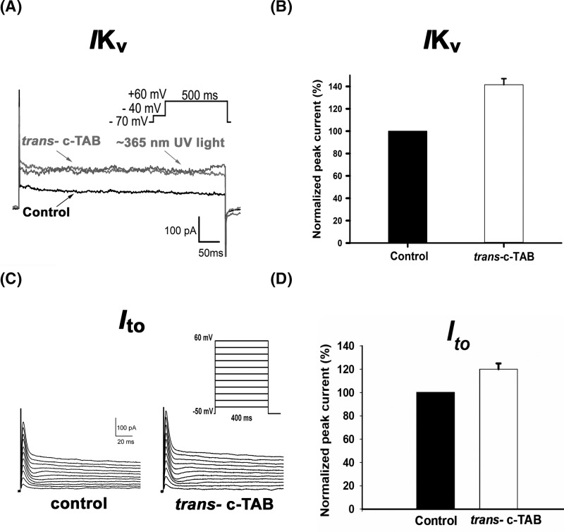 Effect of c-TAB on voltage-gated K+ currents in neonatal rat ventricular cardiomyocytes ( A ) Whole-cell outward K + currents of the control in response to 500 ms depolarizing voltage steps from −70 mV to +60 mV, after application of 60 μM c-TAB under visible light ( trans -c-TAB) and after ∼365 nm UV irradiation. ( B ) Steady-state K + currents recorded before and after treatment with 60 μM c-TAB and expressed as a percentage of the control IKs. Each cardiomyocyte was incubated in the presence of c-TAB at room temperature for ∼3 min in a measuring chamber. The data are the means ± SEM, n =5, statistical significance was P