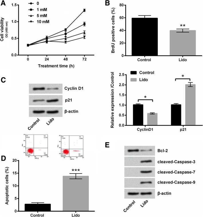 The growth of MKN45 cells was inhibited by lidocaine. Lidocaine ( a ) suppressed cell viability, ( b ) inhibited cell proliferation, ( c ) decreased Cyclin D1 expression and increased p21 expression, ( d ) promoted apoptosis, and ( e ) downregulated Bcl-2 expression, and upregulated cleaved-Caspase-3, -7, and -9 expression. Cell viability, proliferation, apoptosis were detected by Cell Counting kit-8 assay, BrdU assay and flow cytometry, respectively. The accumulated levels of CyclinD1, p21 and apoptotic proteins were analyzed by western blot. * p