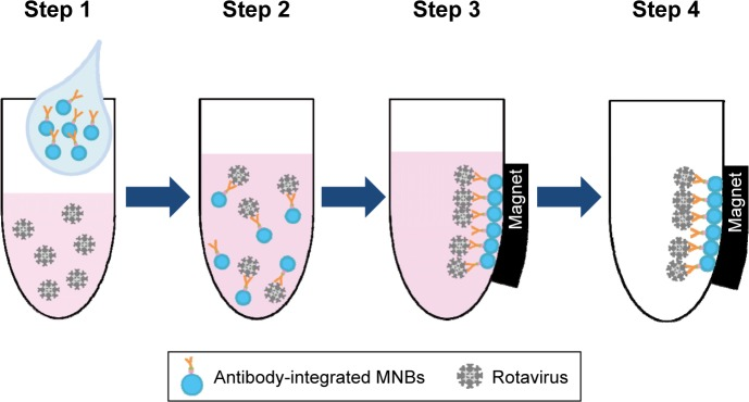 Schematic representation showing the capture of rotavirus using antibody-integrated MNBs. Notes: Antibody-integrated MNBs (10 µL) were washed twice with PBS. The rotavirus-infected cell lysate (10 µL) was diluted with 500 µL of PBS and used as rotavirus suspension (Step 1). The suspension was then incubated with the MNBs for 5 minutes at room temperature (Step 2). Tubes containing the MNBs were placed in a magnetic field (Step 3). The beads were then subjected to magnetic separation, and the supernatant removed (Step 4). The beads were washed three times with PBS and resuspended in 10 µL PBS for further analysis. Steps 1–4 produced a bead fraction (BD) (10 µL antibody-integrated MNBs following incubation with PBS-diluted rotavirus-infected cell lysate), and a supernatant fraction (SP) (10 µL supernatant; following incubation and washing). Abbreviation: MNBs, magnetic nanobeads.