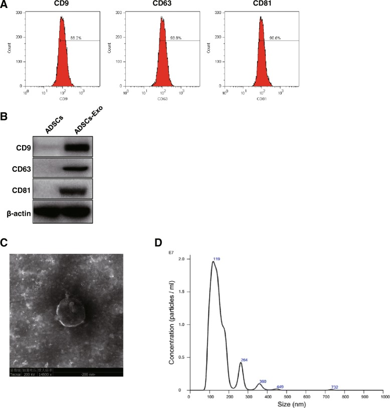 Authentication of ADSCs-derived exosome. a Purity identification of ADSCs-Exo by flow cytometry using CD9, CD63, CD81, and their isotype control antibodies. b Measurement of protein level of CD9, CD63, and CD81 by western blotting. c Images of exosome morphology taking by transmission electron microscopy (TEM). d Observation of number and size of exosome by nanoparticle tracking analysis. ADSCs-Exo indicates ADSCs-derived exosome