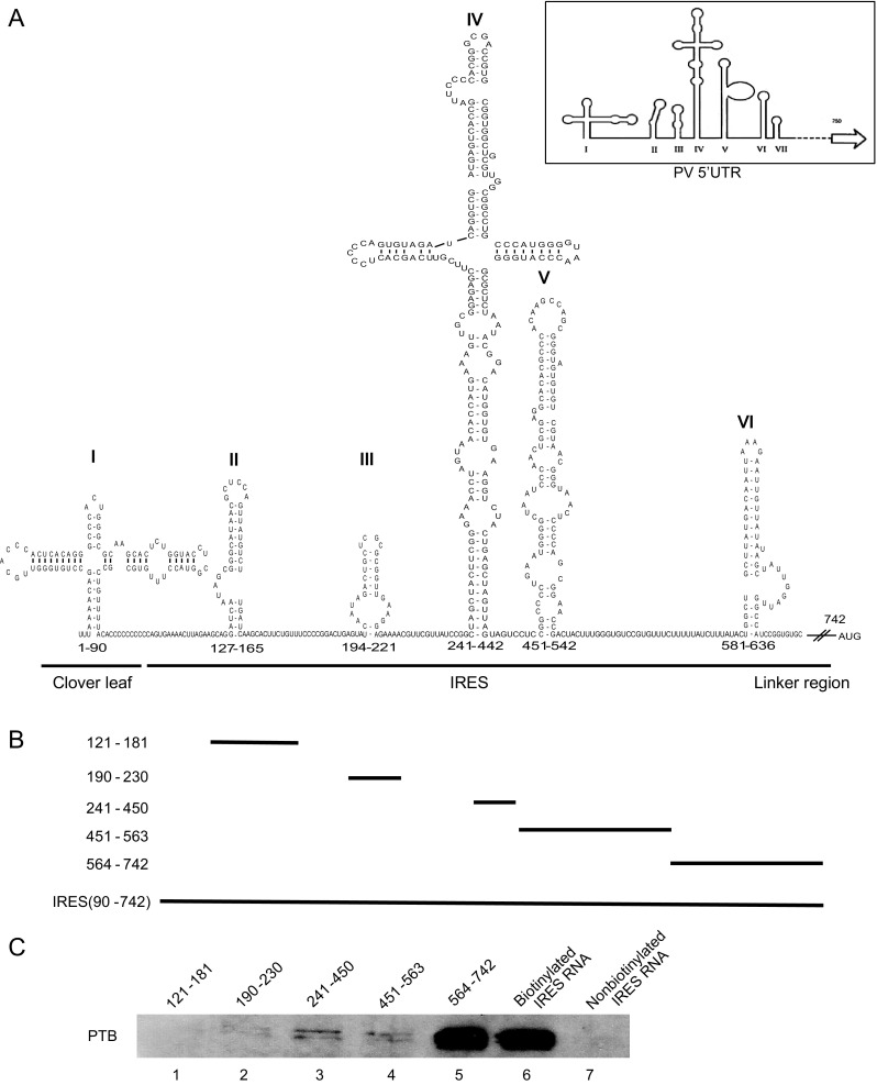 Determination of the EV71 IRES sequences required for the binding of PTB. A Prediction of the <t>RNA</t> secondary structure of the EV71 5′UTR by the mfold web serve. The modified schematic representation of the secondary structure of poliovirus (PV) 5′UTR (modified from Hellen et al . 1994 ) is shown in the top right corner. B Plasmids carrying different deletions in the five stem-loops of EV71 IRES: pGEM-3zf-(SL II, 121–181), (SL III, 190–230), (SL IV, 241–450), (SL V, 451–463), (SL VI, 564–742). C Analysis of the regions responsible for the interaction in the EV71 IRES region using various truncated RNA forms, transcribed in vitro and <t>biotinylated.</t> <t>T98G</t> cell lysate were incubated with these biotin-labeled RNAs and the non-biotinylated IRES RNA probes were used as controls. After being pulled down by streptavidin, the protein complex was separated by SDS-PAGE and Western blot was carried out to detect PTB in the pulled-down complex (lanes 1–7).