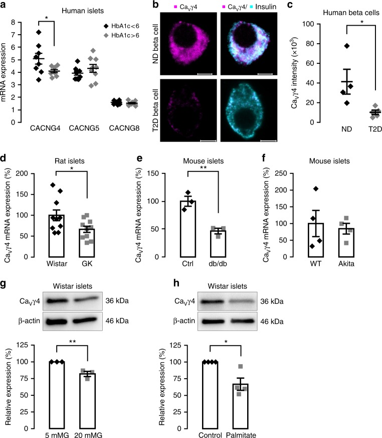 Decreased Ca V γ4 expression in beta cells in diabetes and in response to glucotoxicity. a Ca V γ4 ( CACNG4 ), Ca V γ5 ( CACNG5 ), and Ca V γ8 ( CACNG8 ) mRNA expression in human islets from donors with HbA1c