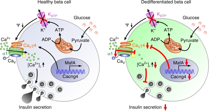Schematic of regulation cascade from MafA through Ca V γ4 to insulin secretion in beta cell. Compared with healthy beta cell, dedifferentiated beta cell caused by T2D or glucotoxicity results in reduced MafA expression, which leads to the downregulation of its direct downstream target Ca V γ4. Decreased Ca V γ4 expression then diminishes L-type Ca V channels expression with consequent preventing of Ca 2+ influx and in turn blunting of GSIS
