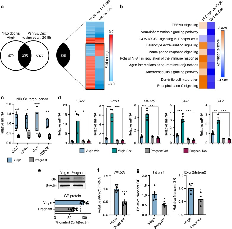 Pregnancy promotes hepatic glucocorticoid resistance via receptor downregulation. a Whole-transcriptome array of livers from virgins and mice pregnant at 14.5 dpc overlaid with previously published <t>RNA-seq</t> of glucocorticoid-responsive genes in the virgin female liver (GSE99309). b Top physiological pathways activated in the pregnant liver compared with glucocorticoid regulation of those pathways. c mRNA expression of GR target genes in pregnant liver. n = 4–7 mice per group; df = 33. d Real-time <t>PCR</t> analysis of livers from dexamethasone challenge (10 μg/kg) in female virgins and pregnant mice. n = 3 mice per group; df = 11. e Immunoblot and quantification of GR protein in livers from virgin and pregnant mice. β-actin was used as a loading control and for normalization. n = 9–10 animals per group; df = 17. f NR3C1 mRNA in virgin and pregnant livers. n = 4–7 mice per group; df = 9. g Expression of nascent NR3C1 mRNAs from virgin and pregnant livers. n = 4 mice per group; df = 6. Data are expressed as mean ± SEM. * denotes p