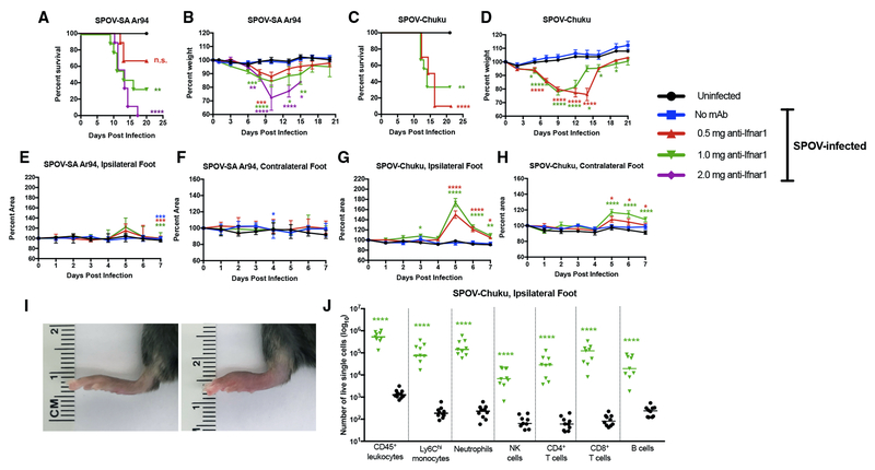 Clinical Consequences of SPOV Infection in Mice (A–D) Survival and weight loss analysis. 8-week-old C57BL/6 male micewere pretreated at day −1 with no antibody or a single dose of anti-Ifnar1 mAb (0.5, 1, or 2 mg) and then mock-infected or inoculated with 10 6 FFU of SPOV-SA Ar94 (A and B) or 10 5 FFU of SPOV-Chuku (C and D) and followed for survival (A and C) or weight change (B and D). Survival analysis was compared to the uninfected mice (log rank-test with Bonferroni post-test: n.s., not significant; **p