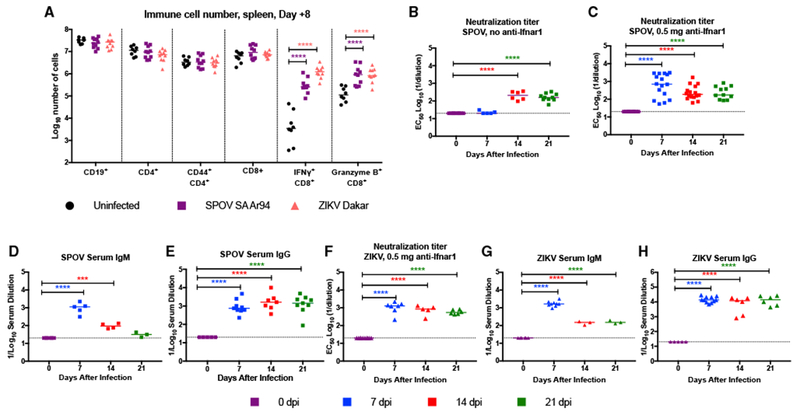 Immune Responses after SPOV or ZIKV Infection 8-week-old C57BL/6 male mice were uninfected or pretreated at day −1 with a single 0.5-mg dose of anti-Ifnar1 mAb and then inoculated with 10 6 FFU of SPOV-SA Ar94 or ZIKV Dakar 41525. (A) At 8 dpi, spleens were harvested and processed by flow cytometry. The total number of indicated cell populations (CD19 + , CD4 + , CD44 + CD4 + , CD8 + , and granzyme B + CD8 + ) is shown. Cells also were incubated with an immunodominant CD8 + T cell peptide and stained intracellularly for IFN-γ. Cell numbers were compared to those obtained from uninfected mice (one-way ANOVA with Dunnett's post-test: **p