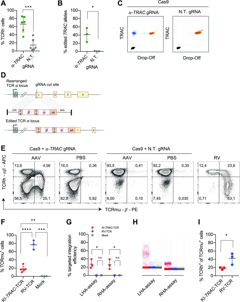CRISPR-Cas9- and AAV-mediated TCR replacement. (A) Flow cytometry analysis of primary human CD8 T cells electroporated with RNPs with an α- TRAC gRNA or a non-targeting (N.T.) gRNA at day 7 after electroporation (data represent three donors in two independent experiments, n = 6). (B) ddPCR quantification of the percentage of edited TRAC alleles on day 7 ( n = 3 donors) with 10 ng genomic DNA input. (C) Representative ddPCR plots are shown. x and y axes show fluorescence intensity (arbitrary units). (D) Schematic representation of the human TRAC locus (top), the recombinant AAV6 targeting construct encoding the exogenous TCR (middle) and the successfully edited TRAC locus (bottom). LHA, about 900-bp-long left homology arm; RHA, about 900-bp-long right homology arm. (E) Representative FACS plots of primary CD8 T cells electroporated with α- TRAC or N.T. gRNA and transduced with AAV (MOI = 10 6 ) or PBS or γ-retrovirally transduced on day 7 after electroporation or transduction. Axes use biexponential scaling. Graphs are 10% contour plots with outliers displayed. (F) Flow cytometry analysis of KI- TRAC -TCR cells (data represent three donors in two independent experiments, n = 6), γ-retrovirally ( n = 3 donors), or mock-transduced cells ( n = 3 donors). (G) ddPCR quantification of the targeted integration efficiency with assays spanning the left (LHA-assay) or right homology arm (RHA-assay). (H) Representative ddPCR plots are shown. y axis shows fluorescence intensity (arbitrary units). (I, F) Flow cytometry analysis as in (F) ( n = 3 donors). Asterisks indicate statistical significance as determined by two-tailed unpaired t test. See also Fig S1 .