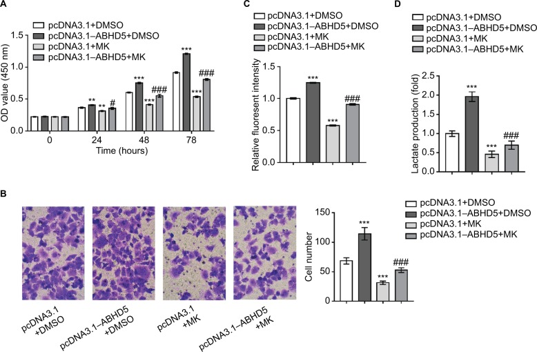The activation of AKT is necessary for the biological functions of ABHD5 in endometrial cancer cells. Notes: Ishikawa cells were transfected with pcDNA3.1–ABHD5 or pcDNA3.1 and treated with 10 µM MK-2206 (MK; Merck Millipore, Billerica, MA, USA) or vehicle (DMSO). ( A ) Cell proliferation was detected by CCK-8 assay (n=3 biological replicates). ( B ) Cell invasion was detected by Transwell assay (n=3 biological replicates), magnification 200×. ( C ) 2-NBDG uptake was measured (n=3 biological replicates). Fluorescent intensity was normalized to protein content and then divided by the value of the control (the first column). ( D ) Lactate production (n=3 biological replicates) was measured and divided by the value of the control (the first column). ** P