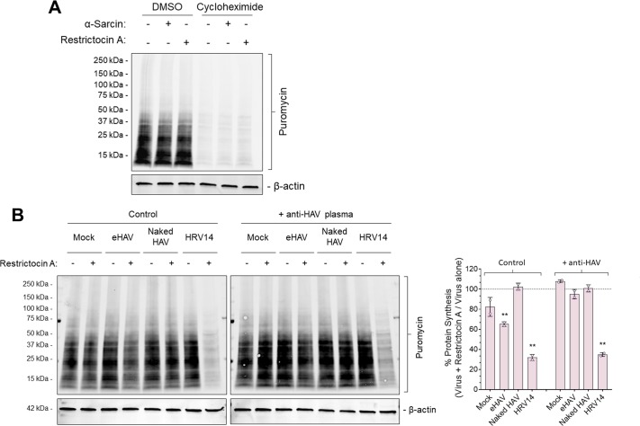 Validation of puromycin incorporation into nascent proteins and Restrictocin A-induced inhibition of protein synthesis during viral entry. ( A ) H1-HeLa cells were incubated with 100 µg/ml α-sarcin or 50 µg/ml Restrictocin A for 6 hr at 37˚C, followed by treatment with cycloheximide for 30 min prior to a 20 min pulse with 20 µg/ml puromycin. Protein lysates were harvested, resolved by SDS-PAGE and subjected to immunoblotting using antibodies against puromycin and actin. ( B ) H1-HeLa cells were adsorbed for 1 hr with gradient-purified eHAV or naked HAV (~1000 GEs/cell) at 37˚C or with HRV14 (10 PFU/cell) at 33˚C in presence or absence of 50 µg/ml Restrictocin A. The inoculum was removed, cells were rinsed with PBS, and incubated for another 5 hr. Cells were then pulsed with puromycin for 20 min and protein lysates were harvested, resolved by SDS-PAGE, and subjected to immublobotting using antibodies against puromycin and actin. Band intensities were quantified, normalized to loading control, and presented as a percentage of virus plus α-sarcin relative to virus alone. Alternatively, viruses were incubated overnight at 4˚C with human 'JC' plasma containing neutralizing HAV antibodies and inoculated as such.