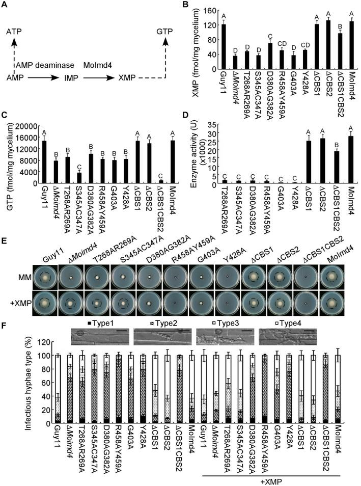 MoImd4 is required for the purine metabolic pathway in Magnaporthe oryzae and exogenous xanthosine monophosphate <t>(XMP)</t> suppresses the defects of the S345AC347A mutant in vegetative growth and virulence. (A) The de novo <t>GTP/ATP</t> biosynthesis pathway of M. oryzae . (B, C) Intracellular levels of XMP/GTP in mycelia of the indicated strains by high‐performance liquid chromatography (HPLC). Experiments were repeated three times with similar results. The error bars indicate the standard deviations of three replicates. Different letters indicate statistically significant differences (Duncan's new multiple range test, P