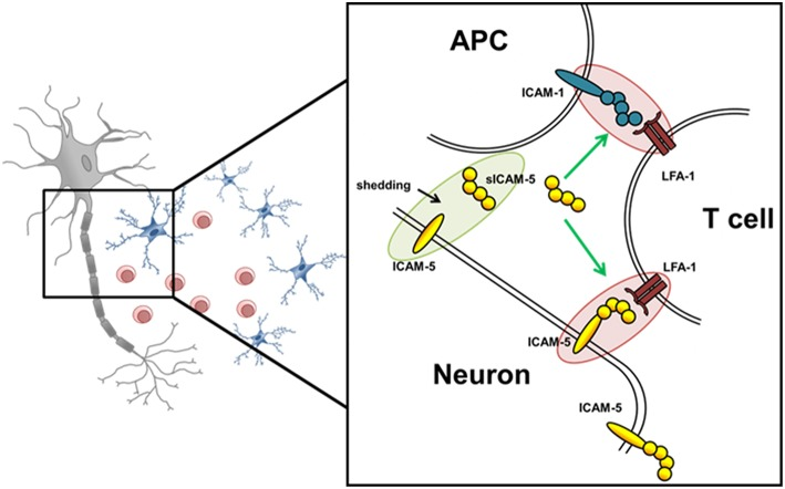 Schematic overview of potential ICAM-5 dependent T cell—neuron and T cell—APC interactions in the CNS. Schematic illustration of the interplay of neurons, T cells, and APCs in the CNS. The adhesion molecule ICAM-5 (yellow) is exclusively expressed by neurons and can be cleaved by MMP-2 and 9 from the neuronal surface (also called shedding). The soluble form (sICAM-5) has been proposed to act as an inhibitor of ICAM1–LFA-1 interactions between T cells and APCs and T cells and neurons therefore displaying a protective function. Green highlights and arrows represent anti-inflammatory/ protective function and red highlights represent proinflammatory properties.