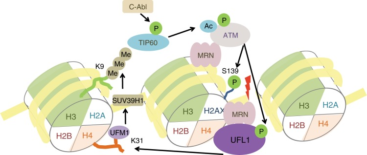 Model for ATM activation by UFL1. When DNA damage occurs, UFL1 is recruited by MRN complex and monoufmylates histone H4, thus recruiting SUV39H1 to DSBs to trimethylate H3K9 thereby forming H3K9me3. Tip60 binds to H3K9me3, acetylates ATM, and promotes ATM activation. C-Abl also phosphorylates Tip60 and enhances Tip60 acetyltransferase activity. Activated ATM phosphorylates UFL1 at Ser462, and enhances its activity thereby amplifying ATM activation signal and forming a positive feedback loop