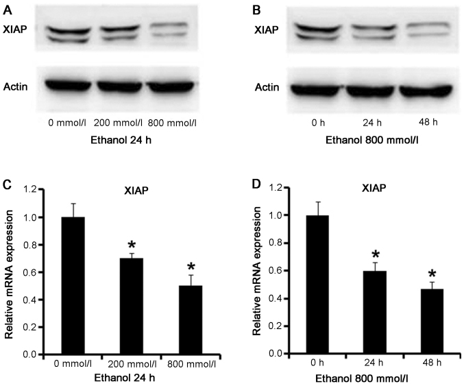 Western blotting and reverse-transcription quantitative polymerase chain reaction to detect the expression levels of XIAP in ethanol-treated AC16 cardiomyocytes. (A) Protein expression levels of XIAP in ethanol-treated AC16 cardiomyocytes after 24 h intervention with different concentrations of ethanol. The 0 mmol/l treatment was the control group, and the 200 and 800 mmol/l were the experimental groups. The protein levels of XIAP differed between the experimental groups and the control group, decreasing in the experimental groups. (B) Protein expression levels of XIAP in 800 mmol/l ethanol-treated AC16 cardiomyocytes following different time interventions. The 0 h treatment was the control group, and the 24 and 48 h groups were the experimental ones. The protein expression levels of XIAP differed between the experimental groups and the control group, decreasing following ethanol treatment. (C) mRNA expression levels of XIAP in ethanol-treated AC16 cardiomyocytes after 24 h intervention with different concentrations of ethanol, and (D) mRNA expression levels of XIAP in 800 mmol/l ethanol-treated cardiomyocytes after different time interventions. The 0 mmol/l group was the control group, and 200 and 800 mmol/l were the experimental groups. The expression levels of XIAP differed between the experimental groups and the control group, decreasing in the experimental groups with increasing ethanol concentrations and longer treatment times. *P