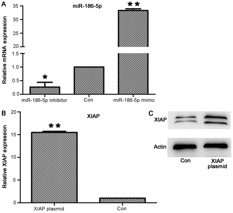 RT-qPCR and western blotting detect the expression levels of miR-186-5p or XIAP in cardiomyocytes following transfection with miR-186 mimic/inhibitor or XIAP plasmid. (A) RT-qPCR determined that the mRNA expression levels of miR-186-5p in AC16 cardiomyocytes increased following transfection with miR-186-5p mimic, while decreasing following transfection with miR-186-5p inhibitor. *P