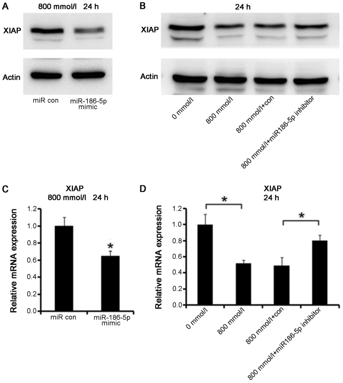 Western blotting and reverse-transcription quantitative polymerase chain reaction to detect the expression levels of XIAP in cardiomyocytes transfected with miR-186 mimic/inhibitor. (A) The protein expression levels of XIAP in ethanol (800 mmol/l, 24 h)-treated AC16 cardiomyocytes decreased following transfection with miR-186-5p mimic into cells. (B) The protein expression levels of XIAP in ethanol (800 mmol/l, 24 h)-treated AC16 cardiomyocytes increased following transfection with miR-186-5p inhibitor into cells. (C) The mRNA expression levels of XIAP in ethanol (800 mmol/l, 24 h)-treated AC16 cardiomyocytes decreased following transfection miR-186-5p mimic into cells. *P