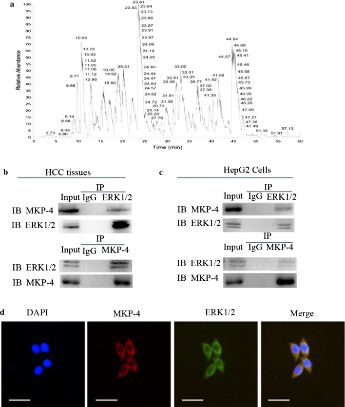 MKP-4 interacts with ERK1/2 in liver tumor cells and tissues. a The results of mass spectrometry in HCC tissues. b Verification of the interaction between MKP-4 and ERK1/2 in HCC tissues using immunoprecipitation assay. c Reciprocal immunoprecipitation of MKP-4 and ERK1/2 in HepG2 cells. Lysates of HepG2 cells were immunoprecipitated with anti-MKP-4, anti-ERK1/2 antibodies or control IgG. The immunoprecipitates were subjected to western blot analysis with anti-ERK1/2 and anti-MKP-4 antibodies. d Immunofluorescence analysis of MKP-4 and ERK1/2 in HepG2 cells. HepG2 cells were subjected to immunofluorescence assay using anti-MKP-4 and anti-ERK1/2 antibodies. Scale bar: 50 μm