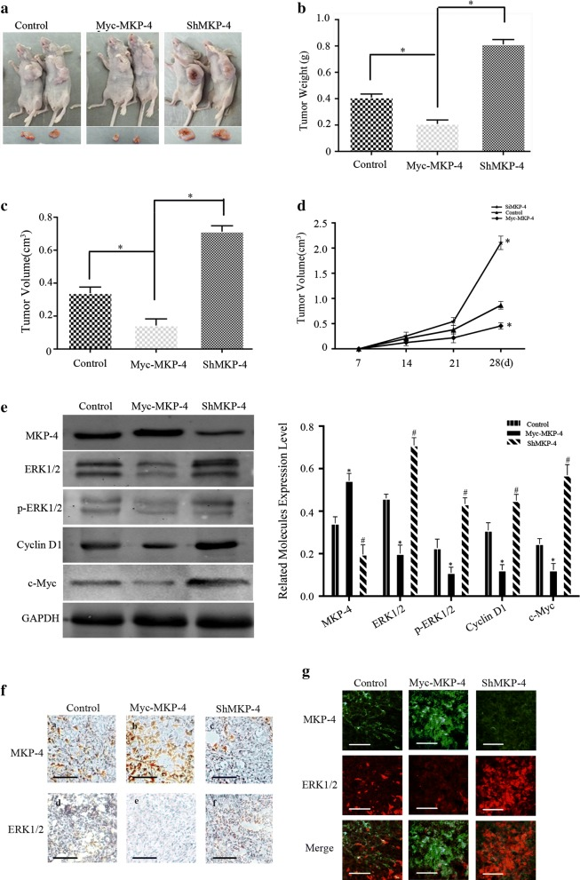 MKP-4 inhibits the tumorigenicity of HCC by targeting ERK1/2 pathway in vivo. a MKP-4 inhibits tumor growth of HepG2 cells in vivo. Control, MKP-4 silenced or MKP-4 overexpressed HepG2 cells were injected into BALB/c nude mice. b , c Tumor weight and volume harvested from the nude mice in different groups after 4 weeks. * P