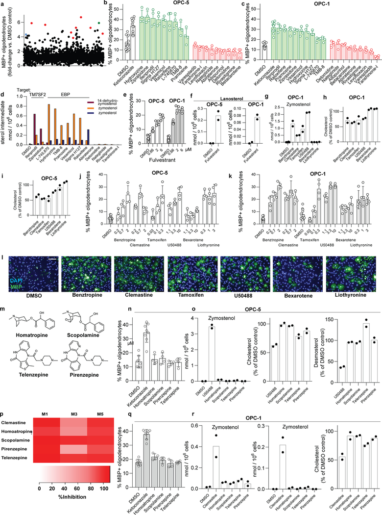 Inhibiting CYP51, TM7SF2 and EBP is a unifying mechanism for many small-molecule enhancers of oligodendrocyte formation identified by high-throughput screening. a) Percentage of MBP + oligodendrocytes (relative to DMSO control wells) generated from OPCs (OPC-1 derivation) at 72 h following treatment with a library of 3,000 bioactive small molecules, each at 2 μM. Each dot represents the result for one small molecule in the library. Red, imidazole antifungals; blue, clemastine; green, EPZ005687, the top novel hit molecule which is discussed in Extended Data Fig. 7 below. b, c) Percentage of MBP + oligodendrocytes generated from OPCs (Left: OPC-5; Right: OPC-1) at 72 h following treatment with ketoconazole, nine top molecules identified by bioactives screening (green), and nine randomly chosen library members (red) at a uniform dose of 5 μM. n = 4 wells per condition except DMSO and Ketoconazole, n = 12 wells, with > 1,000 cells analyzed per well. d) GC/MS-based quantitation of zymosterol, zymostenol, and 14-dehydrozymostenol levels in a second batch of OPCs treated 24 h with the indicated screening hits and randomly chosen library members at 2 μM. n = 1; for validation in a second derivation of OPCs, see Fig. 3a . Molecules are clustered by enzyme targeted (top labels). e) Percentage of MBP + oligodendrocytes generated from OPCs at 72 h following treatment with the indicated doses of fulvestrant, one of the top 10 HTS hits. n = 4 wells per condition except DMSO, n = 12), with > 1,000 cells analyzed per well. f) GC/MS-based quantitation of lanosterol levels in OPCs treated 24 h with fulvestrant at 2 μM. n = 2 wells per condition. g, h, i) GC/MS-based quantitation of metabolite levels in OPCs treated 24 h with the indicated previously-reported enhancers of oligodendrocyte formation at the following doses: Benztropine, 2 μM; Clemastine, 1 μM; Tamoxifen, 100 nM; U50488, 5 μM; bexarotene, 1 μM; liothyronine, 3 μM. n = 2 wells per condition. j, k) Percentage of MBP + oligo